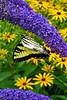 Eastern Tiger Swallowtail_047ph