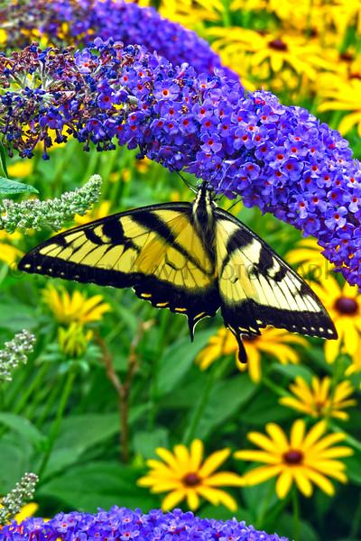Eastern Tiger Swallowtail_048ph