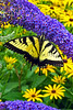 Eastern Tiger Swallowtail_049ph