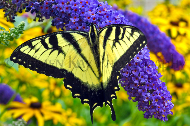 Eastern Tiger Swallowtail_051PH