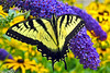 Eastern Tiger Swallowtail_051PH