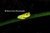 red-eyed tree frog_001