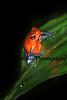 Blue-jeans Frog_005