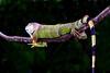 grn iguana CR_002