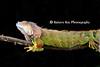 grn iguana CR_001