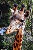 giraffe head t4_006
