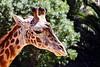 giraffe head t4_014