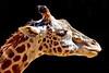giraffe head t4_015