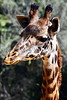 giraffe head t4_002