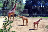 giraffes_006