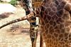 Giraffe pee