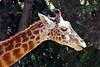 giraffe head t4_012