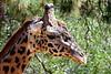 giraffe head t4_007