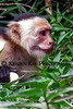 capuchin monkeys CR_002