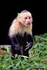 capuchin monkeys CR_005