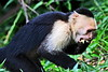 capuchin monkeys CR_007