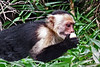 capuchin monkeys CR_003