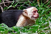 capuchin monkeys CR_001