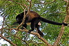 Howler Monkey CR_