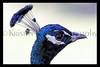 peacock zoo 8-12_008mszBLK