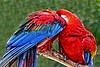 Scarlet Macaw_002