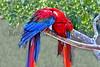 Scarlet Macaw_003