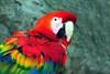 Scarlet Macaw_026