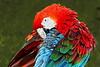 Scarlet Macaw_014