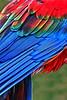 Scarlet Macaw_011