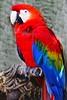 Scarlet Macaw_018