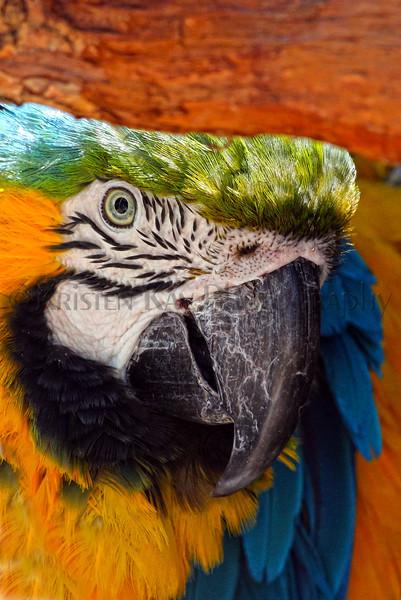 blueGold Macaw_002