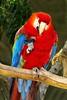 Scarlet Macaw_024