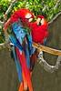 Scarlet Macaw_023