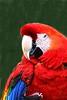 Scarlet Macaw_015