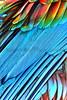 Scarlet Macaw_005
