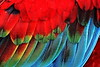 Scarlet Macaw_009