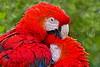 Scarlet Macaw_006