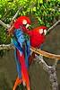 Scarlet Macaw_022