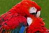 Scarlet Macaw_008