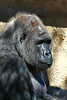 gorilla portraits_014
