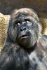 gorilla portraits_013
