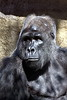 gorilla portraits_006