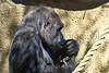 gorilla portraits_008
