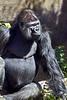 gorilla poses_003p