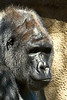gorilla portraits_009