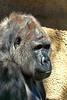 gorilla portraits_011
