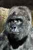 gorilla portraits_001
