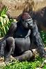 gorilla poses_005p