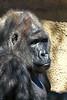 gorilla portraits_010