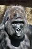 gorilla portraits_005